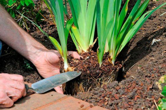 как посадить ирисы