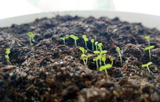 как вырастить землянику