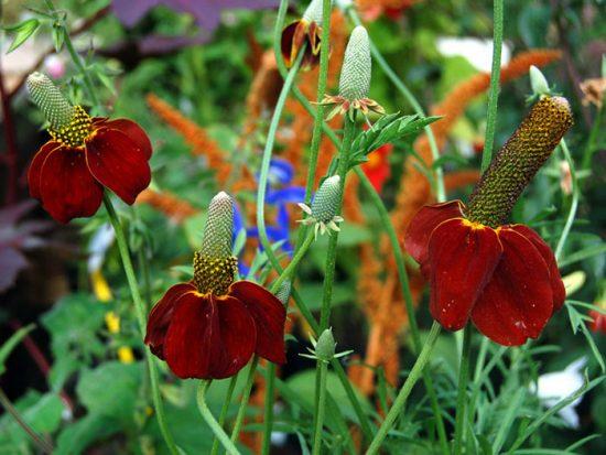 ратибида в саду