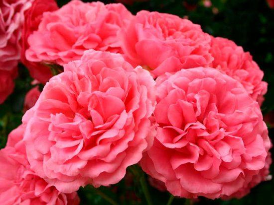 цветок Rosarium Uetersen