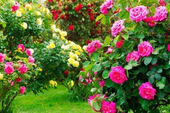 кусты роз на даче