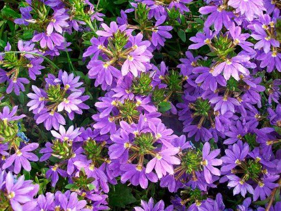 цветение сцеволы