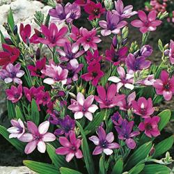 как цветет бабиана