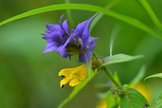 цветение иван-да-марьи