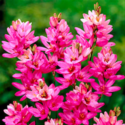 цветение иксии