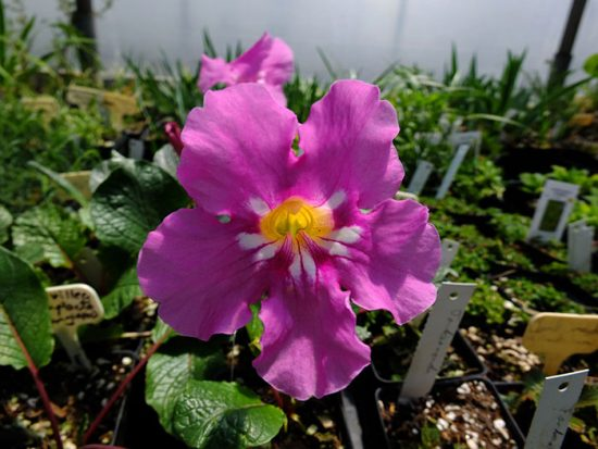 инкарвиллерия в саду