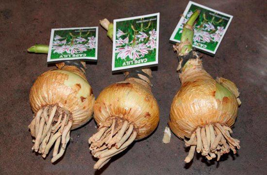 луковицы кринума