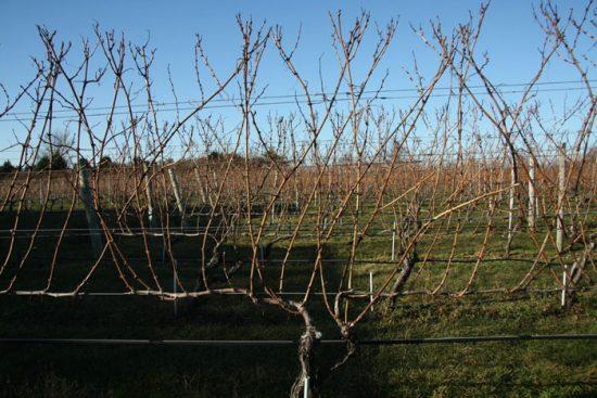 формирование лозы винограда