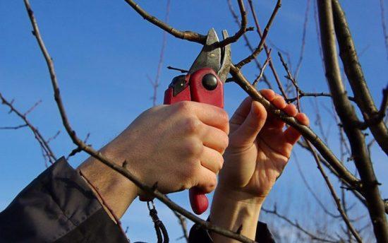 как делать обрезку вишни