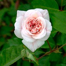 уход за полиантовой розой