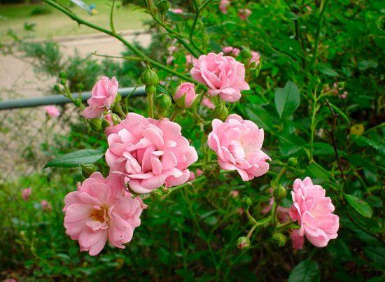 уход за полиантовыми розами