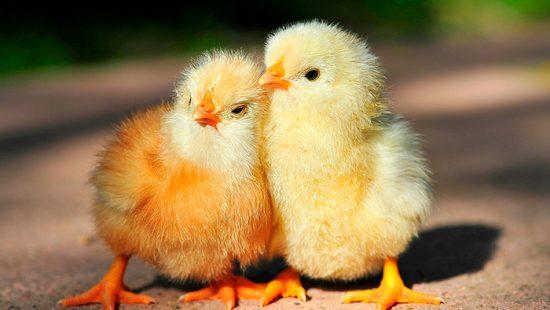 лечение цыплят