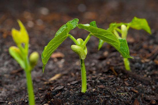 ростки бобов