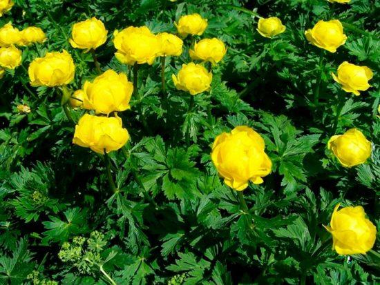 выращивание цветов на даче