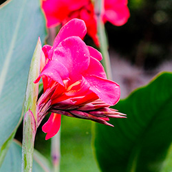 как цветет канна