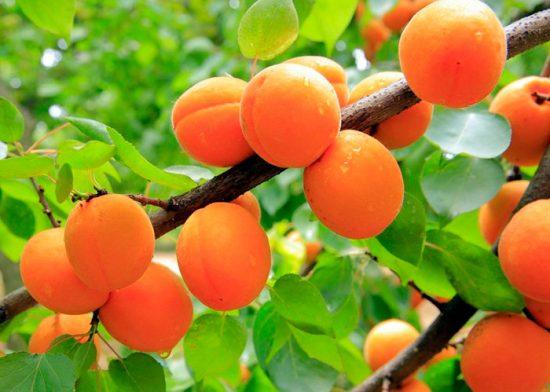 плоды сорта чемпион севера