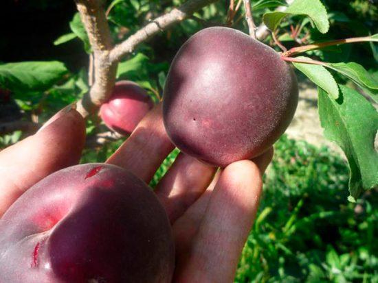 необычные абрикосы