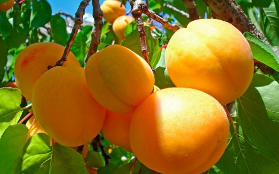 вкусные абрикосы