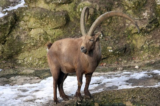 козел в природе