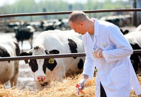 чем болеют коровы