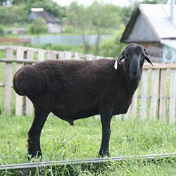 Эдильбаевская порода овец: особенности ухода