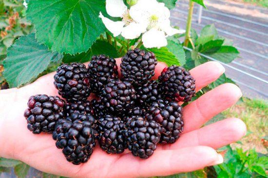 ягоды в саду