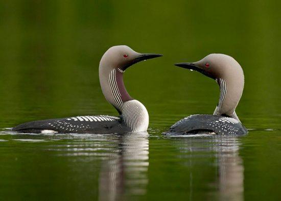пара птиц в воде
