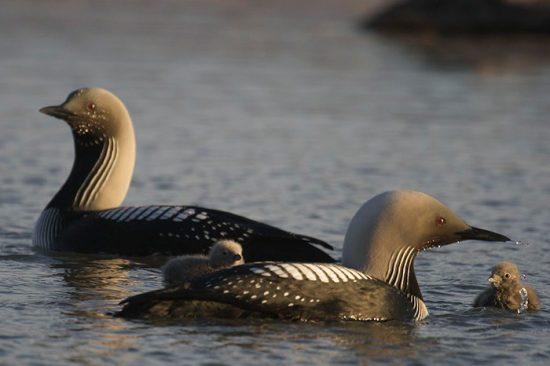 виды водоплавающих птиц