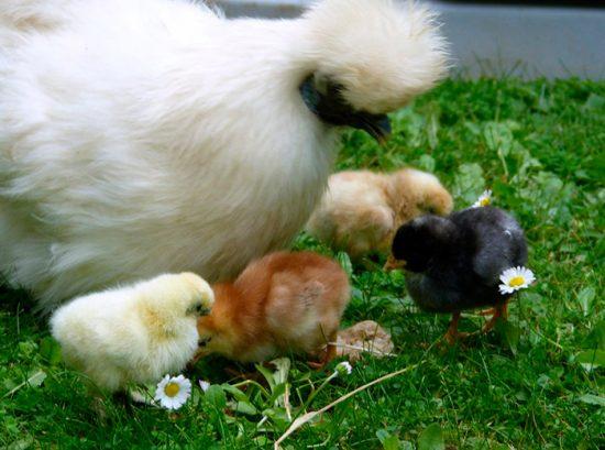 цыплята шелковой курицы