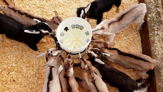 содержание козлят