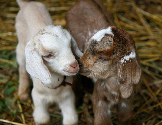 питание козлят