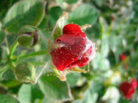 роза пораженная вредителем
