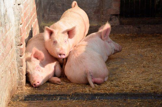 йоркширская свинья