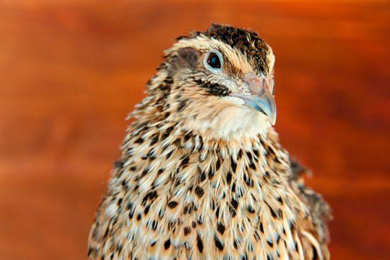 уход за домашней птицей