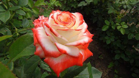 сорт роз