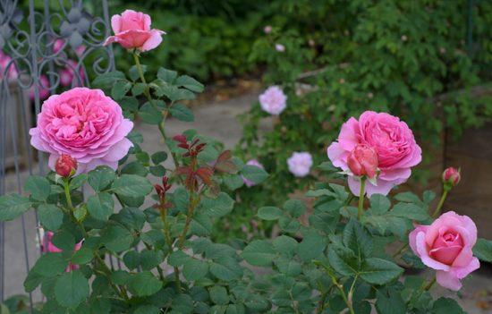 ярко розовая роза
