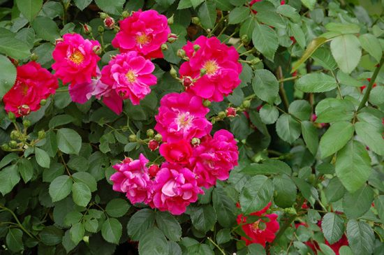 виды кустовых цветов