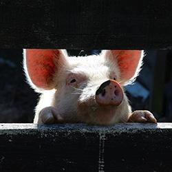 Постройка свинарника как сделать свинарник на даче