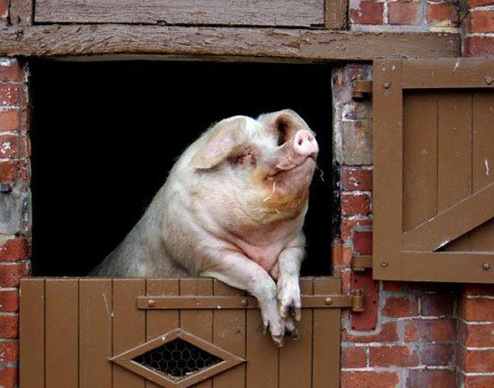 как построить свинарник