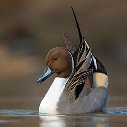 Шилохвость утка описание и особенности белощекой птицы среда обитания красная книга интересные факты