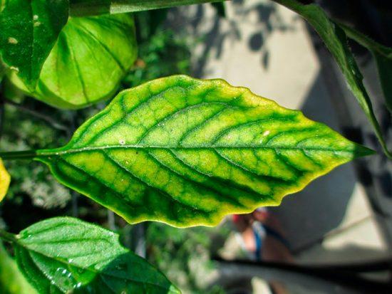 растение пораженное хлорозом