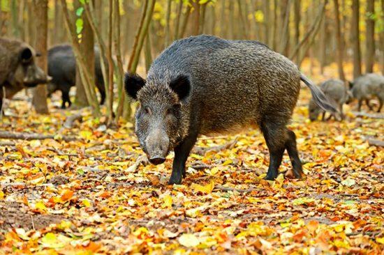дикие свиньи в природе