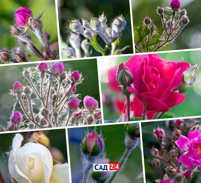 Мучнистая роса на розах