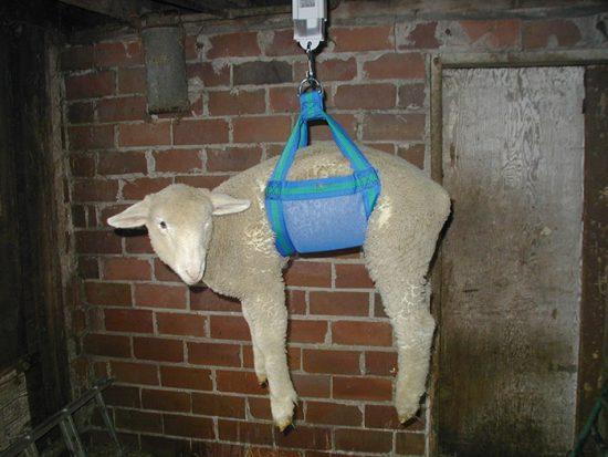 взвешивание овечки