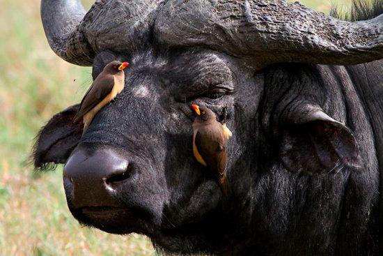 буйвол и птицы