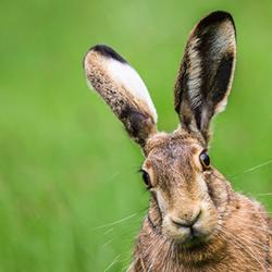 В чем отличие кролика от зайца