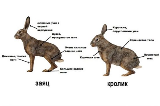 кролики в природе