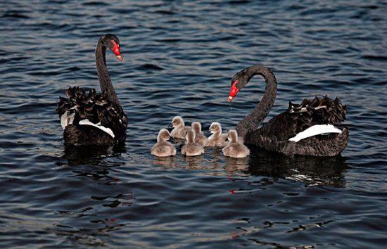 пара лебедей с птенцами