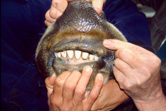 зубы коров