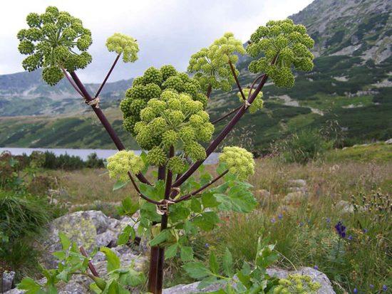 растение медонос